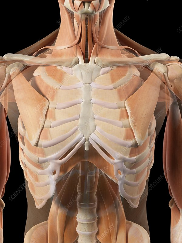 Thoracic muscles, artwork