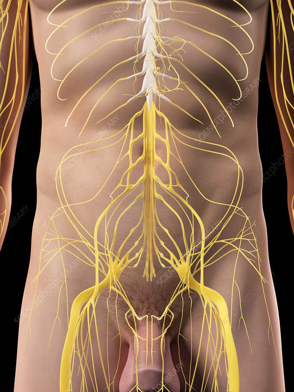 Abdominal nerves, artwork