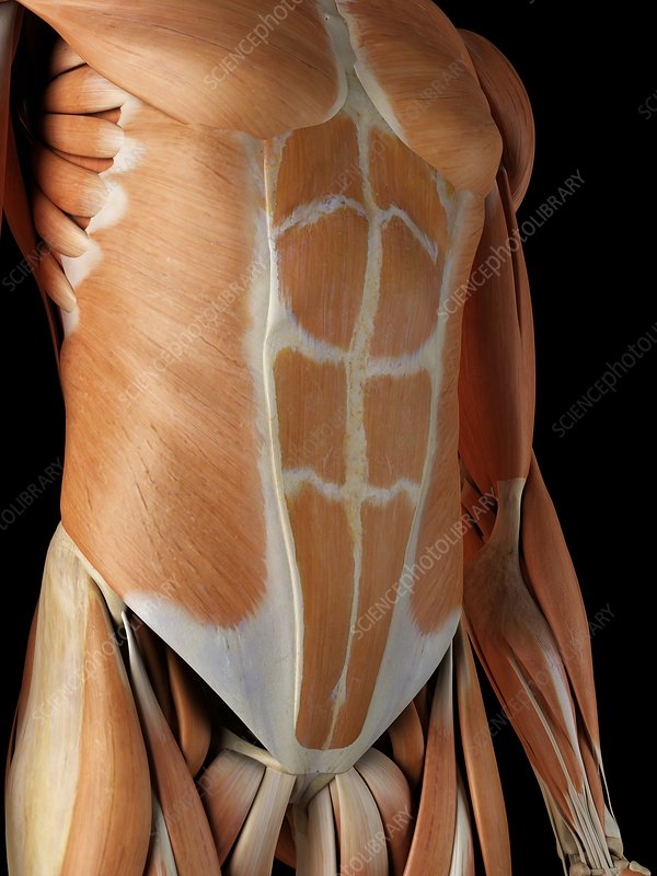 Human abdominal muscles, artwork