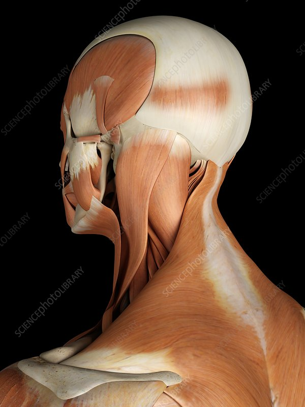 Head and neck muscles, artwork