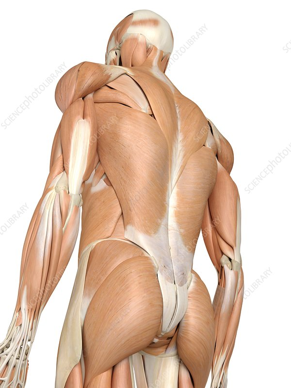 Human back muscles, artwork