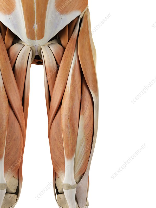 Human leg muscles, artwork
