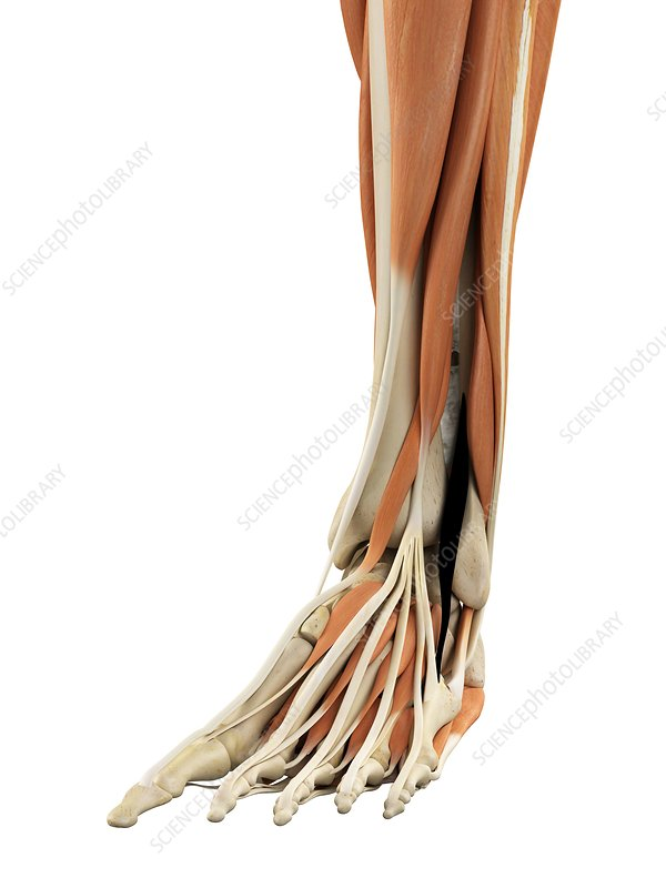 Human foot anatomy, artwork