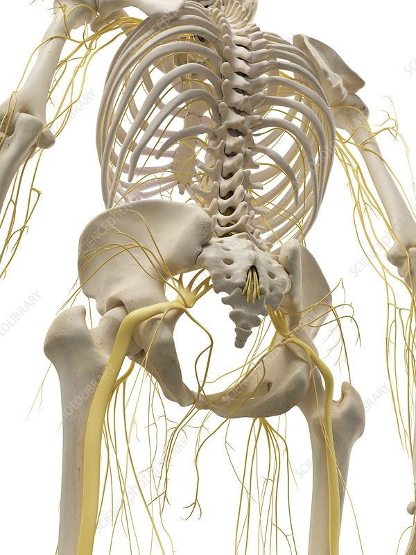 Thoracic bones and nerves, artwork