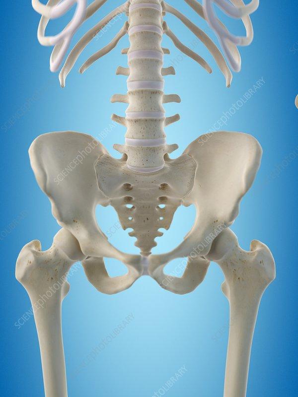 Human Hip Bones Artwork Stock Image F0094491 Science Photo