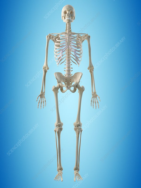 Human skeleton, artwork