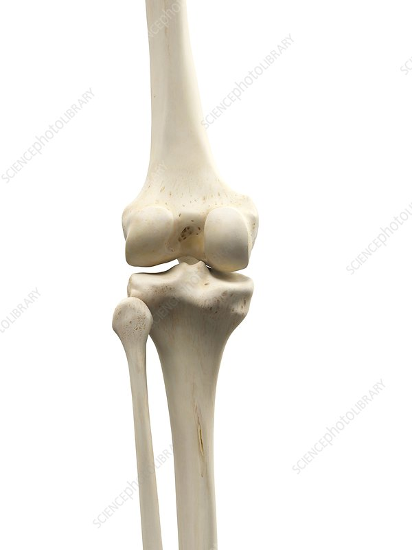 Human knee joint, artwork