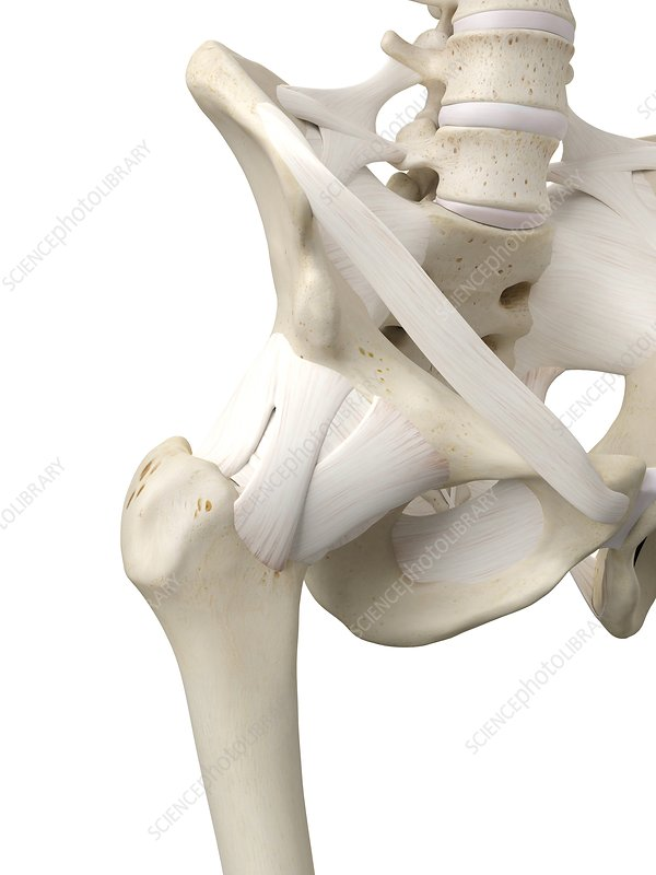 Human hip tendons, artwork