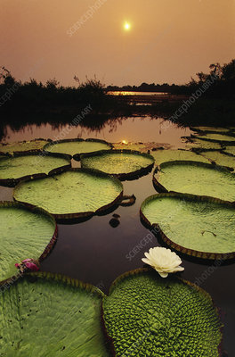 Water lilies, Paraguay River, Brazil