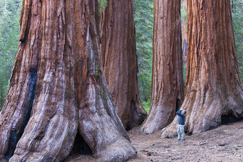 Sequoia trees in Yosemite National Park