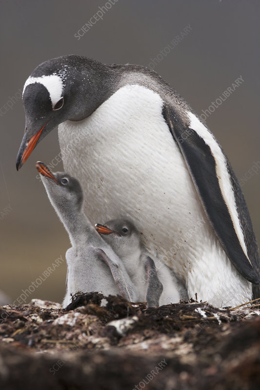 A Gentoo penguin and two chicks