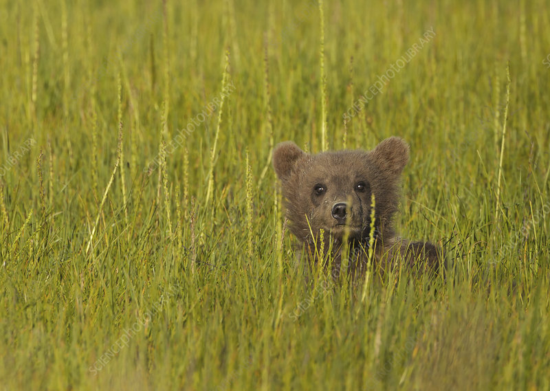 Brown bear cub, Lake Clark National Park