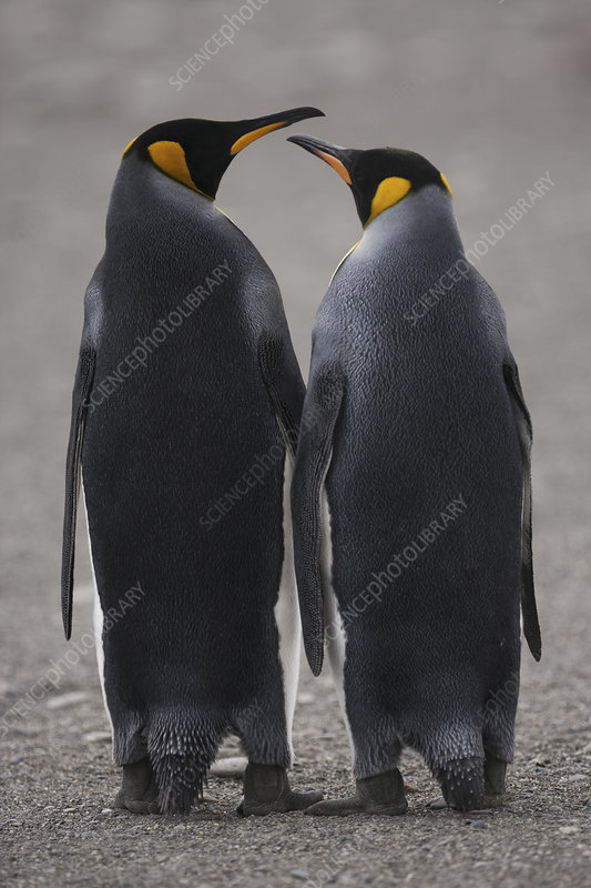Two adult King Penguins