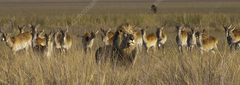 African lion and lechwe, Botswana