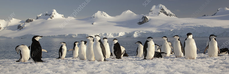 Chinstrap penguins on Half Moon Island,