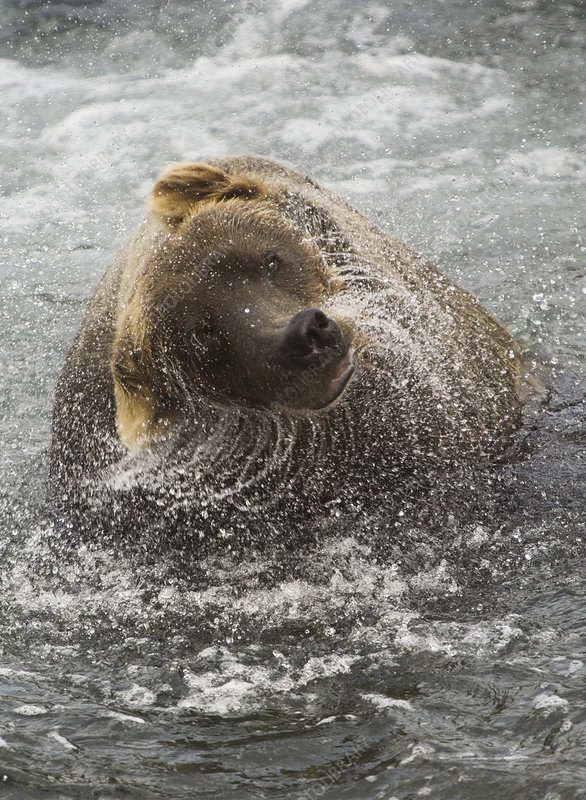 Brown bear, Lake Clark National Park