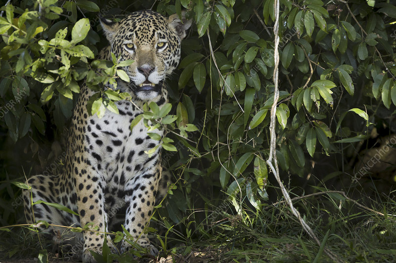 Jaguar, young animal