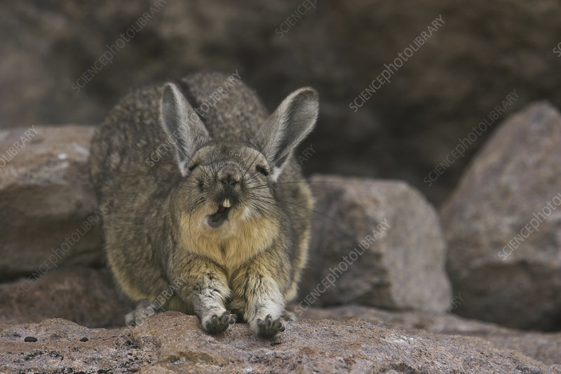 A mountain viscacha