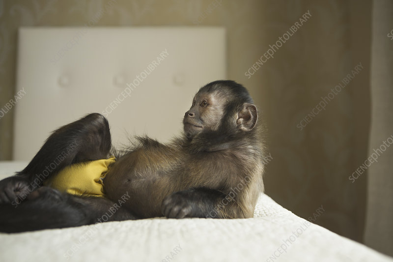 A capuchin monkey in a bedroom,