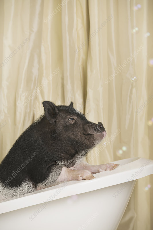 A small pot bellied pig