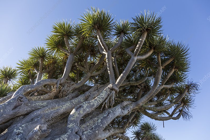 Dragon tree, La Palma, Canary Islands