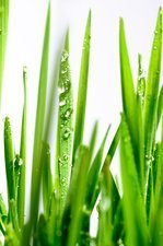Blades of wheatgrass with water droplets