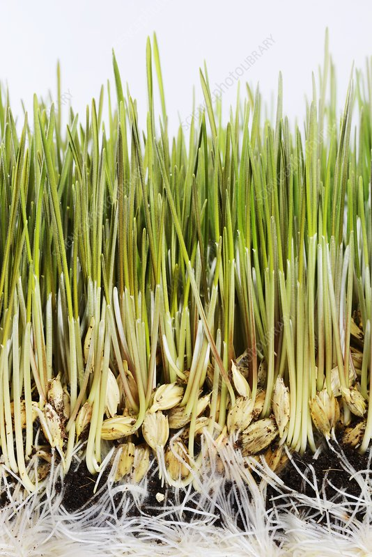 Wheatgrass seedling