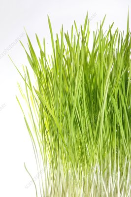 Blades of wheatgrass