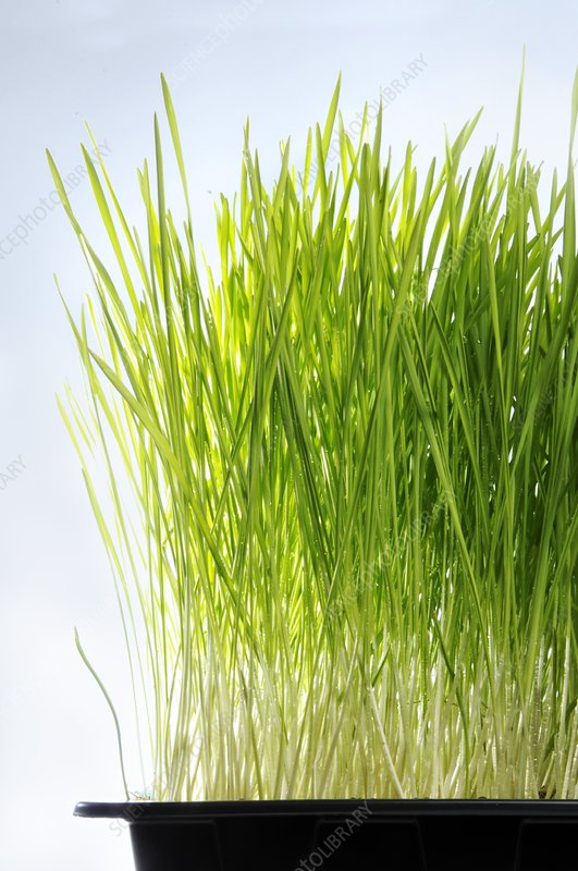 Wheatgrass growing in a tray