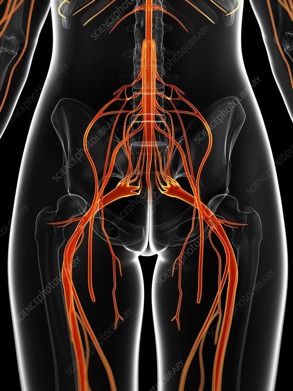 Female nervous system, artwork