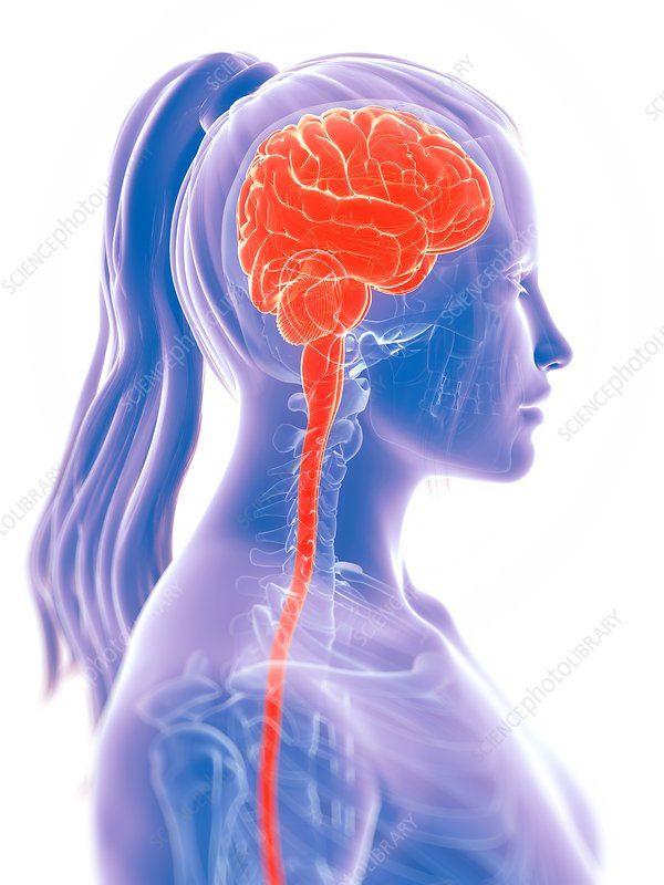 Female brain, artwork
