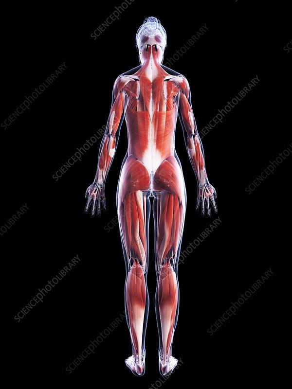 Female muscular system, artwork