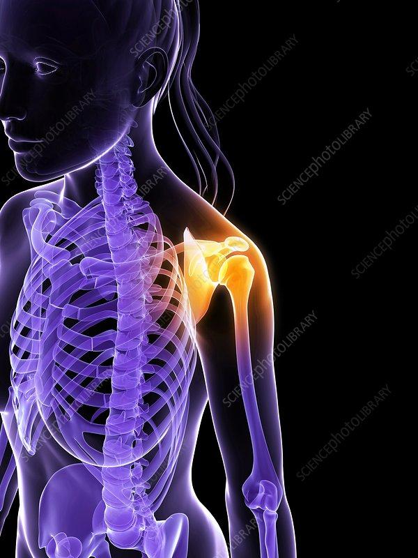 Female shoulder bones, artwork