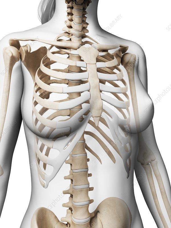 Female ribcage, artwork