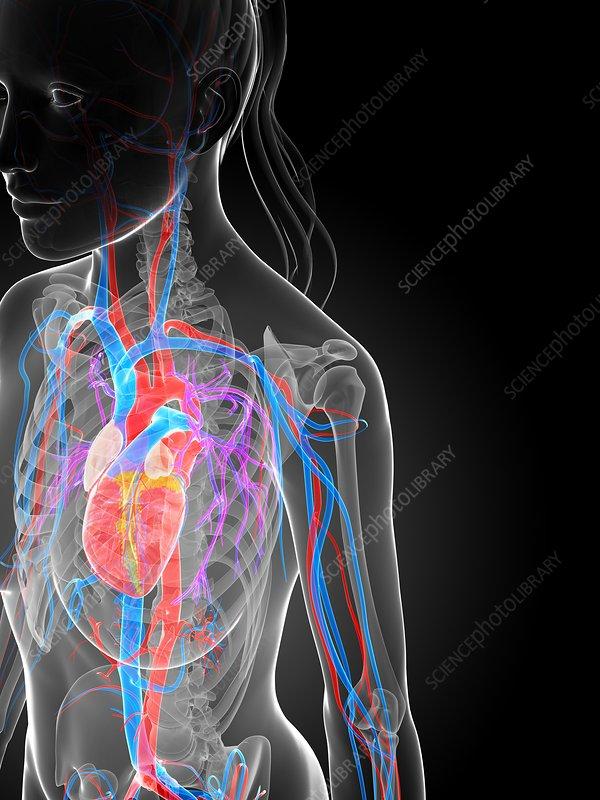 Female vascular system, artwork