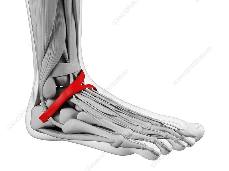 Human foot ligament, artwork