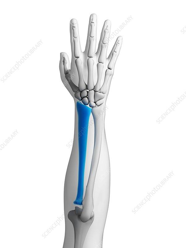 Human arm bone, artwork