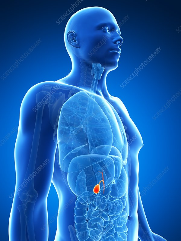 Male gall bladder, artwork