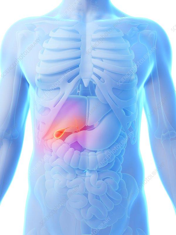 Human gall bladder, artwork