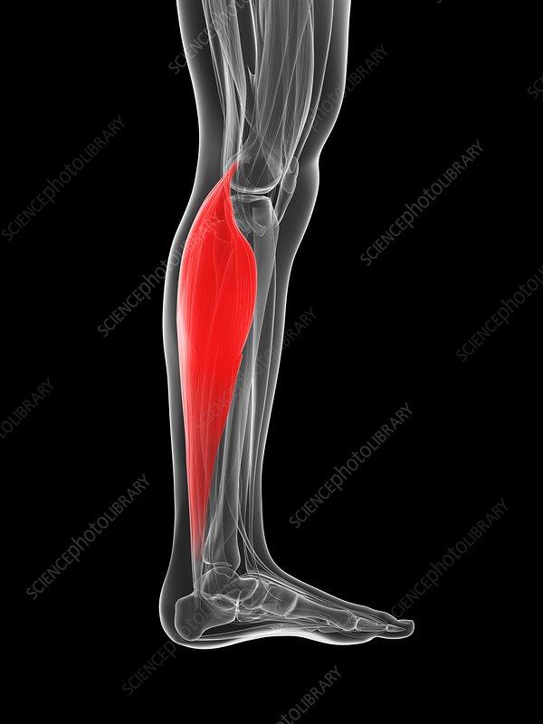 Human calf muscle, artwork