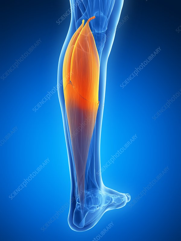 Human calf muscle, artwork