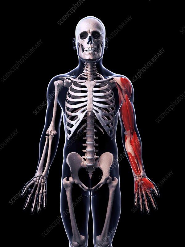 Human arm muscles, artwork