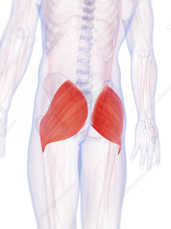 Human buttock muscles, artwork