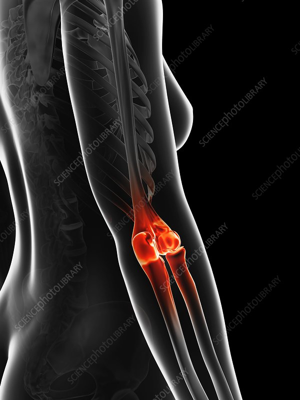 Human elbow joint, artwork