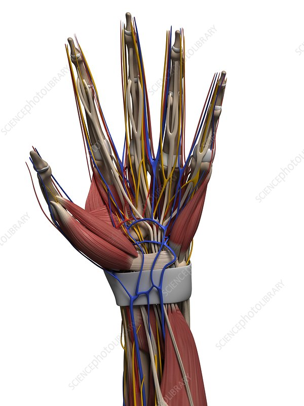 Human hand nerves, artwork