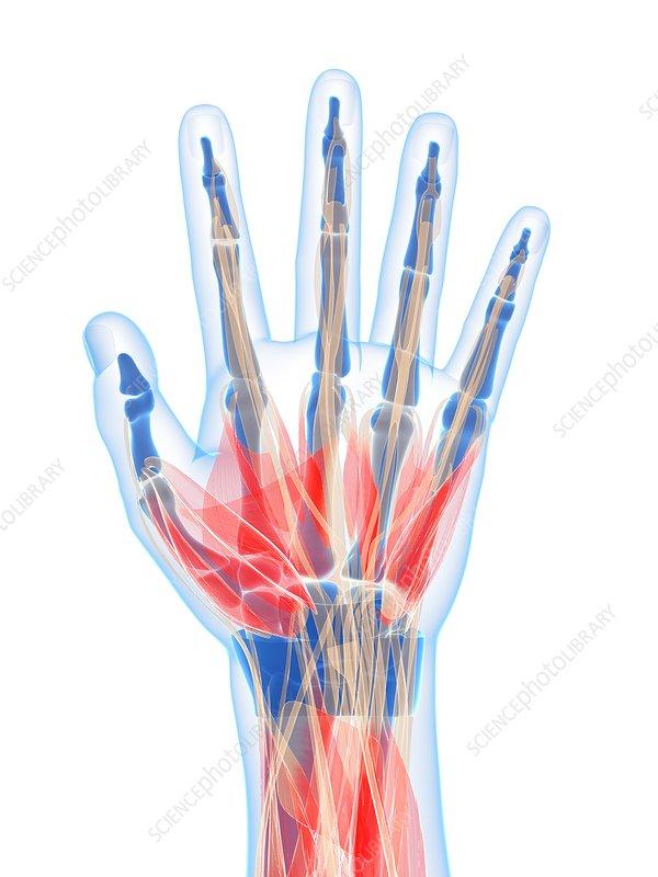 Human hand muscles, artwork