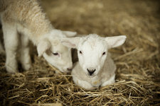 Two white lambs in a lambing shed