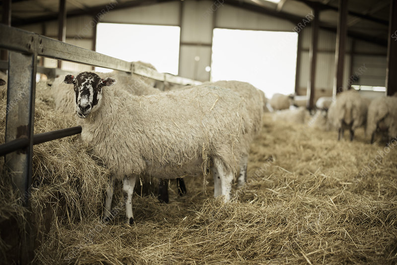 Sheep in a barn during lambing time