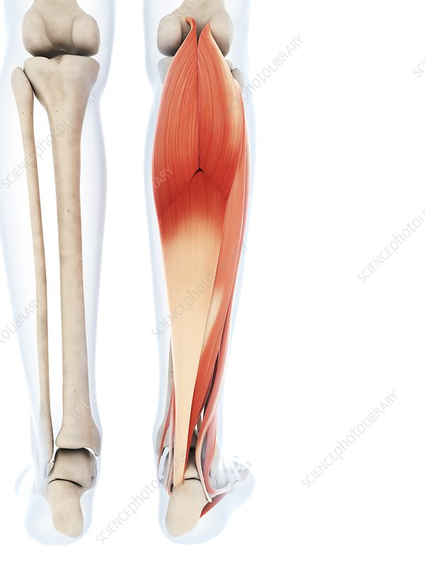Human calf muscles, artwork