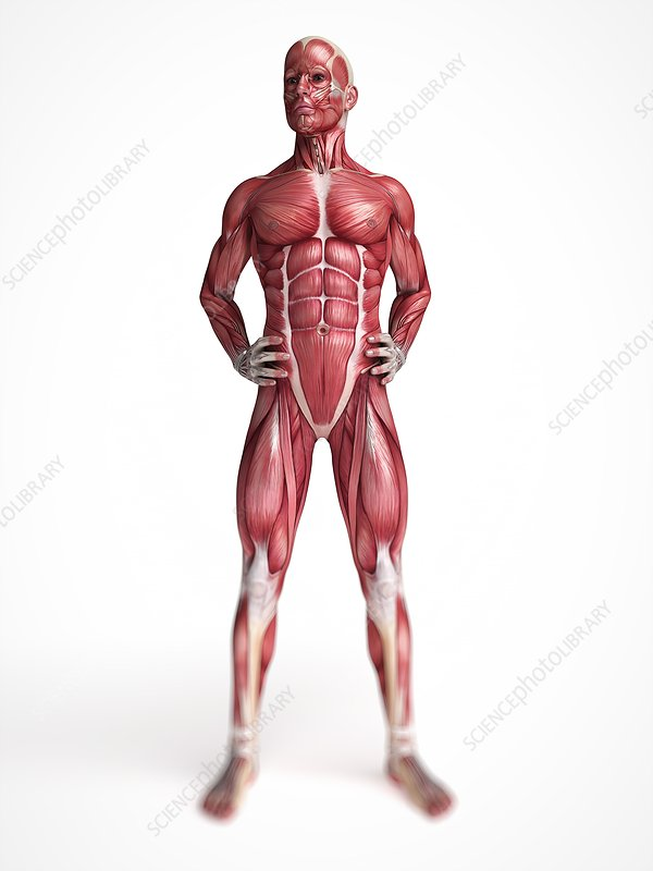 Male muscular system, artwork